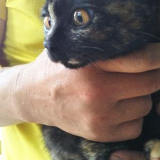 サビ猫4か月 メス
