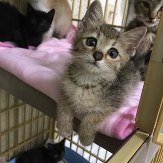 子猫 メス 生後約2ヶ月過ぎくらい