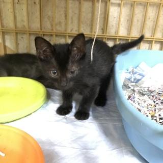 黒子猫  オス 生後約2ヶ月