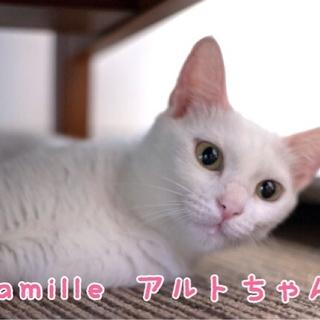 白猫 アルトちゃん 里親募集!