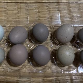 ヒメウズラの雛孵化予定の卵の里親さん募集