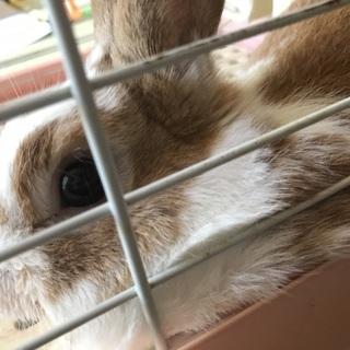 ウサギの里親さん募集中です。