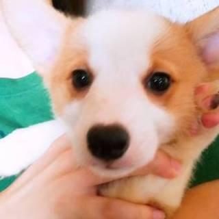 可愛い純血のコーギー子犬です。
