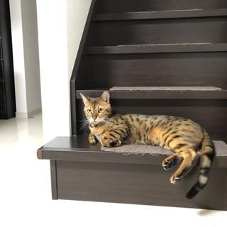 甘えん坊なベンガル猫