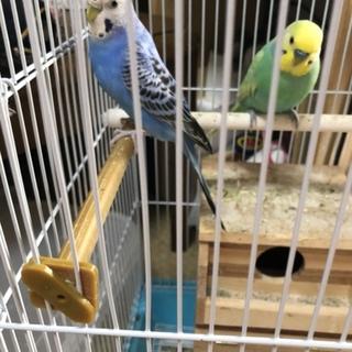 錦華鳥とセキセイインコ