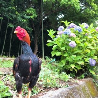 赤笹小軍鶏 オス1羽 小軍鶏メス2羽