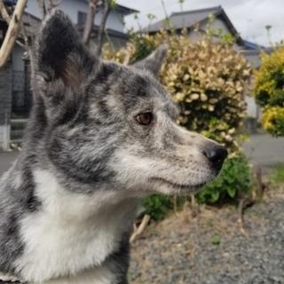 秋田犬 6歳の女の子