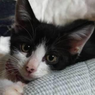 とっても愛らしいハチワレの子猫のひよこちゃん