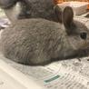 赤ちゃんウサギ サムネイル2