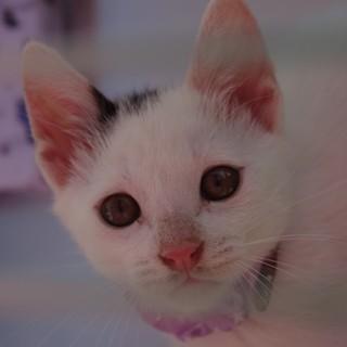 前髪が特徴的な白ブチの子猫さん