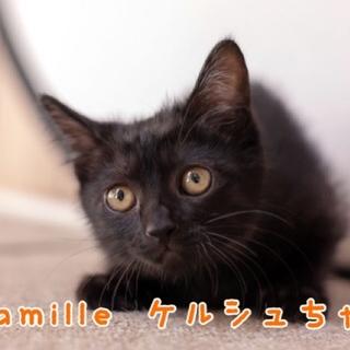 黒子猫のケルシュちゃん 里親募集中!