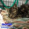 人馴れ抜群!甘えん坊のキジトラ子猫 041