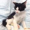 おだやか半長毛の黒白☆トントちゃん 3ヵ月半 サムネイル3
