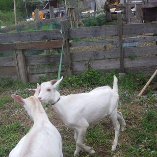 仔山羊のオス   里親募集中   愛媛県からです