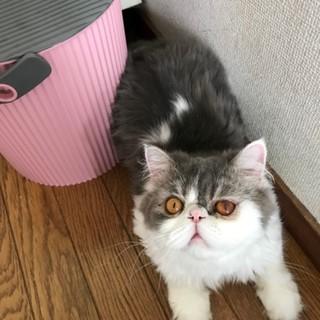 多頭崩壊救出◆甘えん坊シルバー♂銀ちゃん猫カフェ向