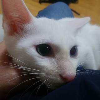 ビビりなやんちゃ坊主の末っ子 白猫オッドアイ なつ