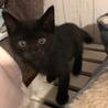 犬猫人馴れOK!遊び好きな黒猫 くまちゃん