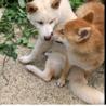 柴犬 メス 1歳 サムネイル3