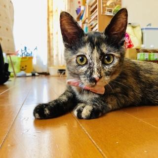 優しいサビ子猫ちゃん【4ヶ月】