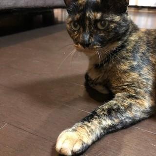 ワンちゃんと暮らせるサビ猫「チビ」のお家を募集中!