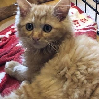 可愛い中長毛の茶トラの子猫