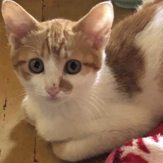 可愛い茶白の子猫