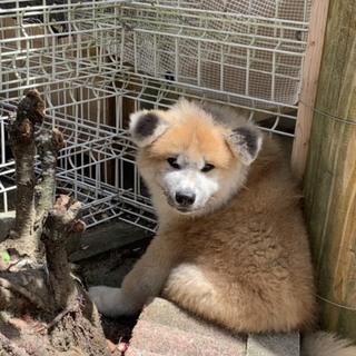 秋田犬 オス 4ヶ月