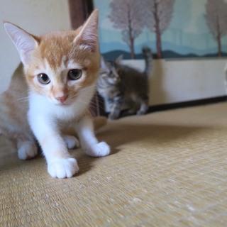 子猫の里親募集(アビシニアン系雑種)