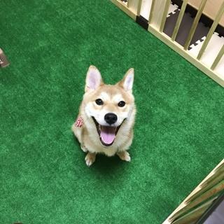 柴犬メス3歳ひまりちゃん(里親さん決定)