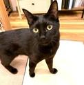 正式譲渡になりました!黒猫穏やか男子