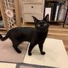 正式譲渡になりました!黒猫穏やか男子 サムネイル2