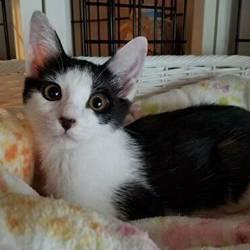 かわいい仔猫、大人猫も 猫の譲渡会 in 名古屋市緑区徳重 サムネイル3