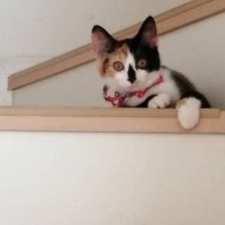 三毛猫 4か月♀