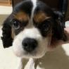繁殖犬引退キャバリア