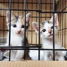 ちびしっぽの雉白男子}【ΦωΦ】{遺棄猫を保護 サムネイル2
