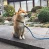 柴犬 2歳 ハヤトくん【募集中断】 サムネイル2