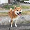 柴犬 2歳 ハヤトくん【募集中断】 サムネイル3