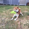 柴犬 2歳 ハヤトくん【募集中断】 サムネイル4