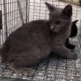 ロシアンブルー風の子猫 ブルースター