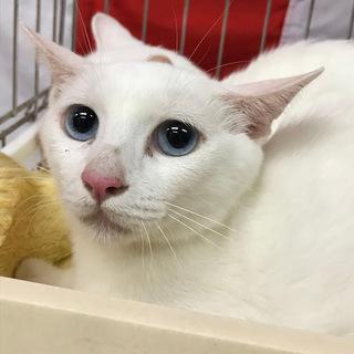 ブルーアイが美しい白猫姉妹