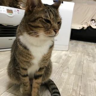 猫嫌い猫超甘えん坊のキジ八割れ