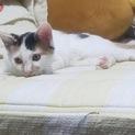 人慣れOK☆かわいい子猫のファミちゃん