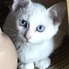 遊び好きな白猫の女の子