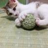 【募集一時停止】2ヶ月の活発な白キジ♀ サムネイル4