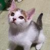 【募集一時停止】2ヶ月の活発な白キジ♀ サムネイル3