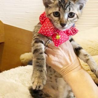 麦色ララちゃん(仮)〜かわいい子猫〜