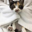 スリゴロ三毛猫。現時点はエイズ陽性@4ヶ月