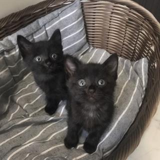 黒猫兄妹の里親様を募集しています。