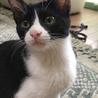 初心者OK!ハチワレ系黒白猫@4ヶ月