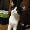 綺麗なハチワレ美猫ちゃん@4ヶ月